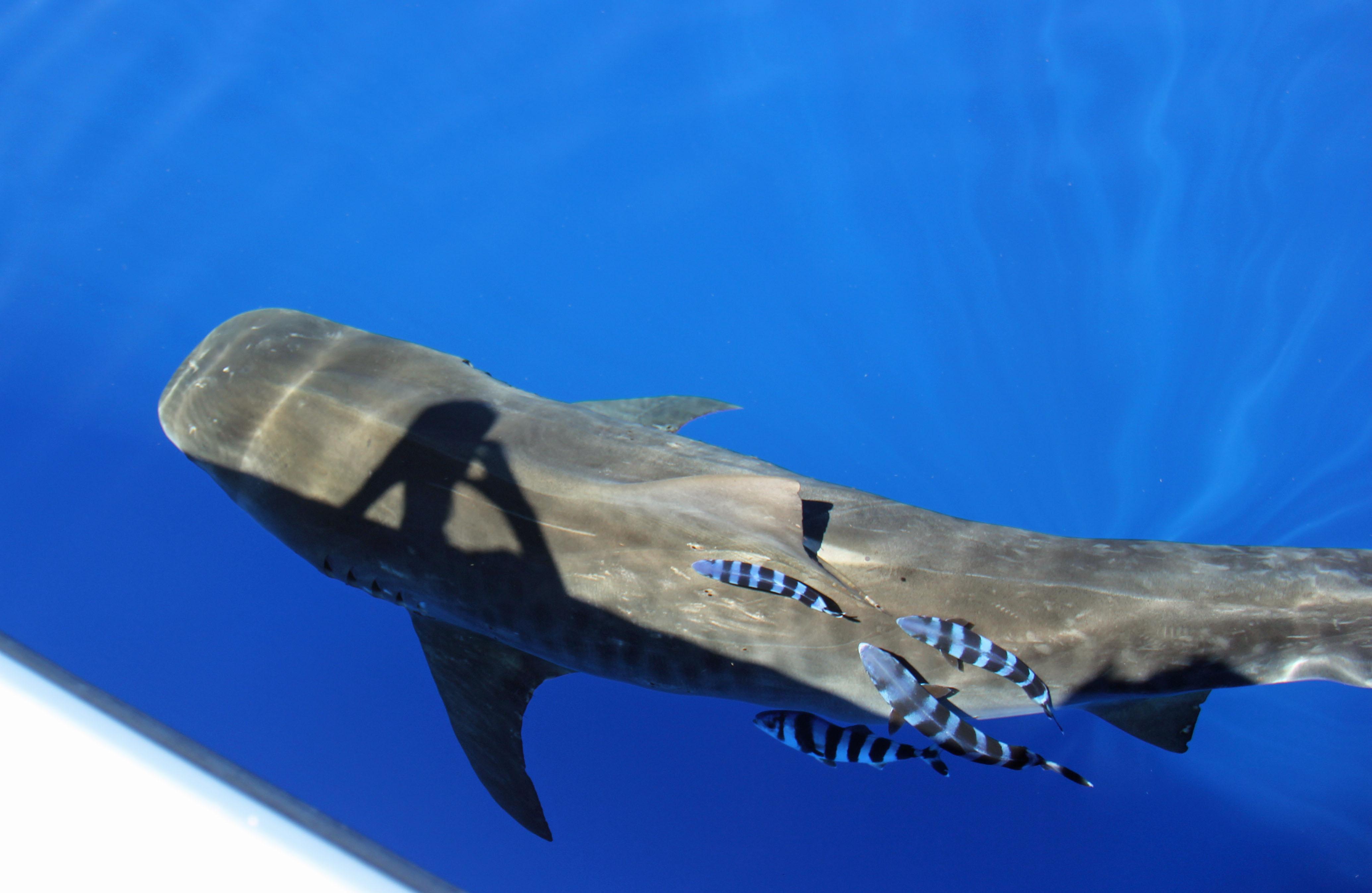 Bermuda Shark Project Bermuda Aquarium Museum Amp Zoo